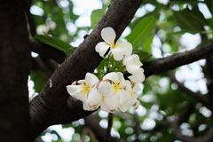 White Plumeria on tree stock photos