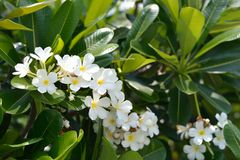 White Plumeria. On the tree in Thailand Royalty Free Stock Images
