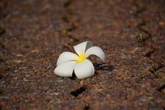 White plumeria on walkway. White plumeria on street walkway royalty free stock photos