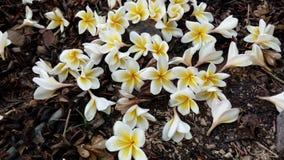White Plumeria Royalty Free Stock Photo