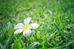 White plumplain on green grass royalty free stock images
