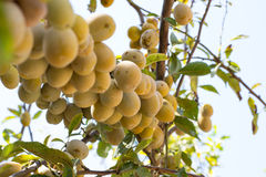 White plums Stock Image