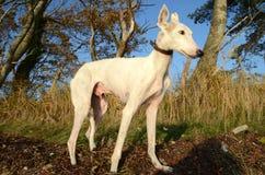 White Podenco dog royalty free stock photo