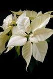 White poinsettia on black background Stock Image