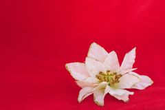 White poinsettia flower decoration. On red background with space for writing Stock Photos