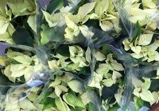 White Poinsettia plants Royalty Free Stock Image