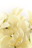 White poinsettia on white background stock photo