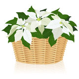 White poinsettias Royalty Free Stock Images