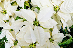 White poinsettias Stock Photos