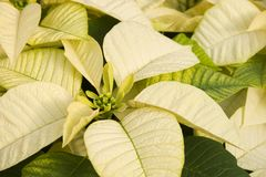 White Poinsettias. White and Green Poinsettias Close Up stock images