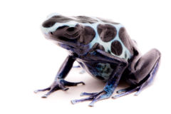 White poison dart frog Dendrobates tinctorius oyapok stock photo