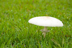 White poisonous mushroom Stock Photo