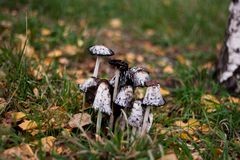 White poisonous toadstool mushrooms among green grass in the autumn forest.  stock photo
