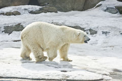 White polar bear. Walking on snow. Recorded in Moscow Zoo stock photography