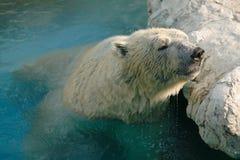 White Polar Bear. Safari World, Bangkok, Thailand royalty free stock photo