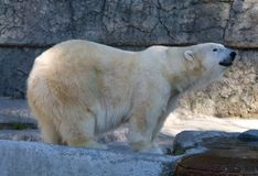 White Polar Bear Royalty Free Stock Photo