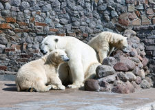 White polar she-bear with bear cubs Stock Photo