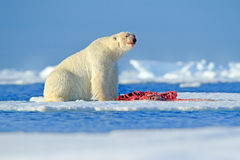 White polar bear on drift ice with snow feeding kill seal, skeleton and blood, Russia. Bloody nature with big animal. Polar bear,. Nature Royalty Free Stock Photo