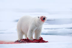 White polar bear on drift ice with snow feeding kill seal, skeleton and blood, Svalbard, Norway. Bloody nature, big animal. Polar stock images