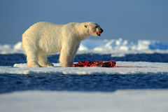 White polar bear on drift ice with snow feeding kill seal, skeleton and blood, Svalbard, Norway Royalty Free Stock Images