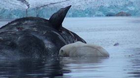 White Polar Bear eats dead whale in water of Svalbard.