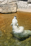 White polar bear enjoy in water Royalty Free Stock Photo