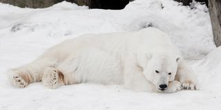 A white polar bear in a fluffy crystal-white skin lying on the snow and sleeping resting, a large predator hiding, merging. A white polar bear white bear in a stock images