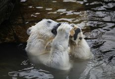 White polar bear in the water. White polar bear having a relaxing time in the water royalty free stock photography