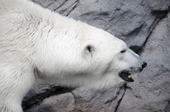 White Polar Bear Hunter in the zoo Royalty Free Stock Image