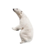 White polar bear. Isolated on white background Royalty Free Stock Image