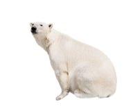 White polar bear. Isolated on white background royalty free stock image
