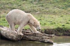 White polar bear. In the nature stock image