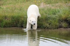 White polar bear in the nature. Portrait of a white polar bear in the nature royalty free stock image