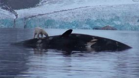 White polar bear near a dead whale in water at the rocky shore of Svalbard.