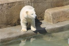 White Polar Bear near a water. White polar bear stands near the water.wild animal in the zoo stock images