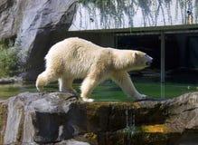 White polar bear is a predator mammal Stock Photography