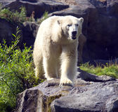 White polar bear is a predator mammal. Arctic wool claws snow cold fangs hummocks symbol poacher Stock Image