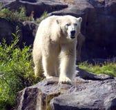 White polar bear is a predator mammal Stock Image