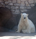 White polar bear with the rocky background Royalty Free Stock Photo