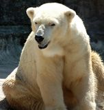 White Polar Bear Sitting Stock Photography