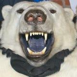 White polar bear skin stock image