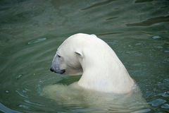 White polar bear swimming Stock Images