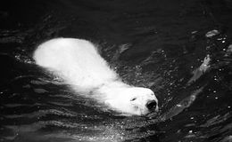 White polar bear swimming. In water close up photo Royalty Free Stock Photos