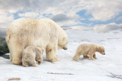 White polar she-bear with two bear cubs. Goes on snow Stock Photo