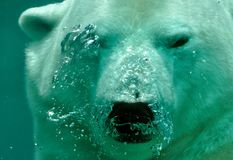 White Polar Bear Under the Sea Stock Photos
