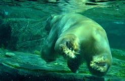 White polar bear under water. White polar bear enjoy the water in a zoo Royalty Free Stock Image