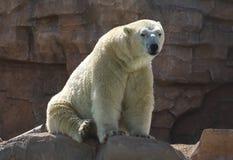 Polar bear Ursus maritimus. White polar bear Ursus maritimus on the rock royalty free stock image
