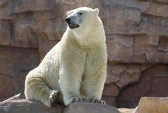 Polar bear Ursus maritimus. White polar bear Ursus maritimus on the rock stock image
