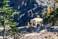 White Polar Bear Walking on Grey Mountain Stock Photography