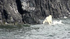 White polar bear walks along rocky shore of Arctic Ocean.